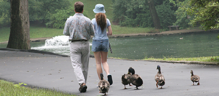 Father and daughter walking along a path followed by a group of ducks